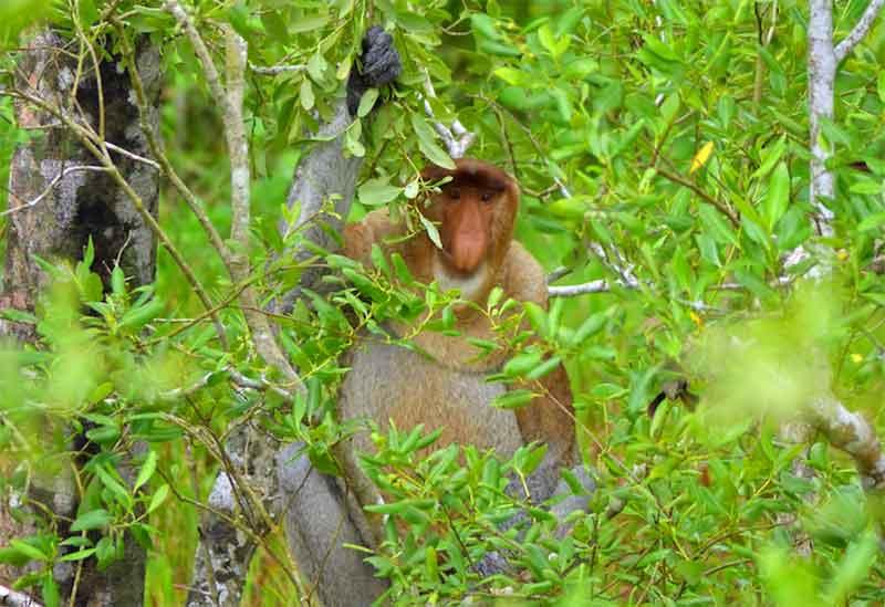 monkey in borneo national park